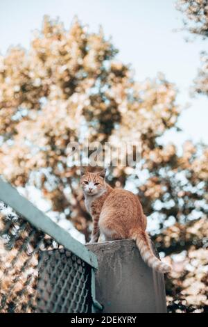 Tabby ginger white cat sits on a stone fence and looks around in the park. Homeless and stray cat on the street. Vertical photo orientation Stock Photo
