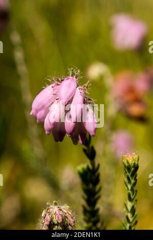 Flowers of the heather Erica tetralix Stock Photo