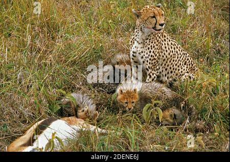 Cheetah, acinonyx jubatus, Female with Cub with a Thomson's Gazelle Kill, Masai Mara Park in Kenya - Stock Photo