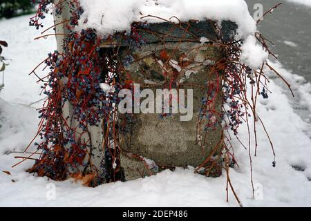 Cement garden pylon with snow on top and under. Boston ivy, in Latin Parthenocissus tricuspidata, is growing vertically along the wall.