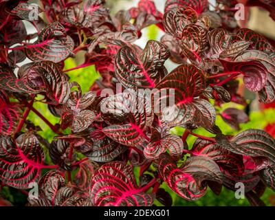 Iresine, Reddish Leaves with Fuchsia Stem in the Middle - Stock Photo