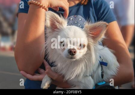 small Chihuahua puppy sits in the arms of the owner. Chihuahua is a breed of miniature indoor dogs. little White dog.