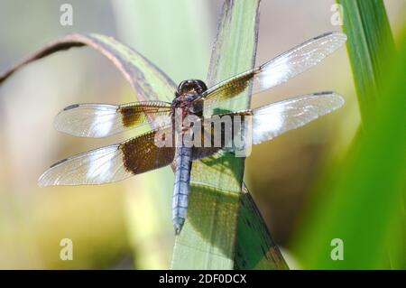 A male Widow Skimmer dragonfly, Libellula luctuosa, takes a rest on a reed leaf