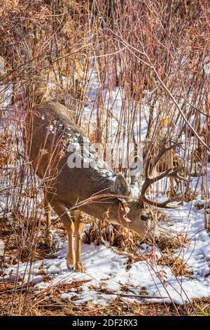 Rocky Mountain Mule deer buck foraging through section of willows, Castle Rock Colorado USA. Photo taken in November.