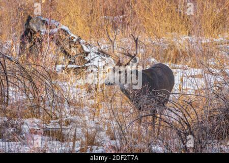 Rocky Mountain Mule Deer buck (Odocoileus hemiorus) in willow grove with snow, Castle Rock Colorado USA. Photo taken in November.