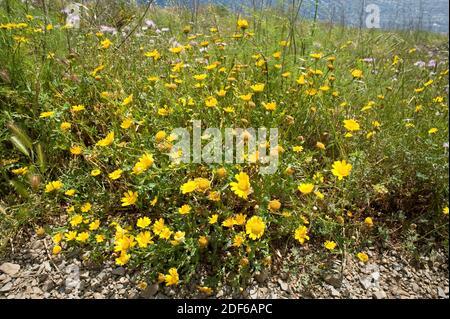 Corn marigold or corn daisy (Chrysanthemum segetum or Glebionis segetum) is a perennial herb native to Mediterranean region. Angiosperms. Asteraceae.