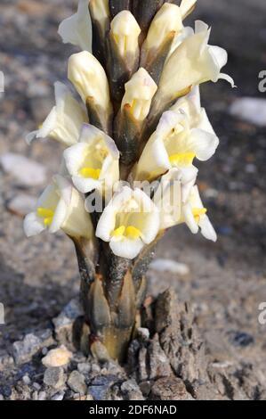 Yellow broomrape (Cistanche phelypaea) is a parasitic plant native to eastern Mediterranean Basin. This photo was taken in Desierto de Tabernas
