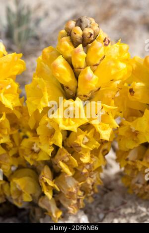 Yellow broomrape (Cistanche phelypaea) is a parasitic plant native to eastern Mediterranean Basin. This photo was taken in Sorbas, Almeria province,