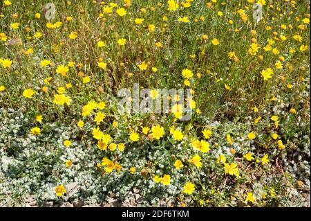 Corn marigold (Chrysanthemum segetum or Glebionis segetum) is a perennial herb native to Mediterranean Basin, central and northwestern Europe and Stock Photo