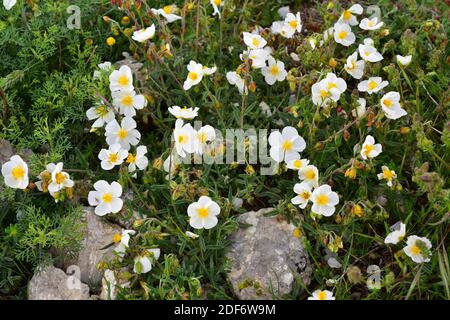 White rock-rose (Helianthemum apenninum) is a subshrub native to Spain, France, Italy, Greece and northwestern Africa. This photo was taken in La