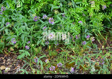 Arabian pea or pitch trefoil (Bituminaria bituminosa or Psoralea bituminosa) is a perennial herb native to Mediterranean Basin and western Asia. This