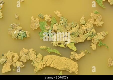 Phormidium sp. cyanobacteria bioderma in a fresh water puddle. This photo was taken in Villafafila, Zamora province, Castilla-Leon, Spain. - Stock Photo
