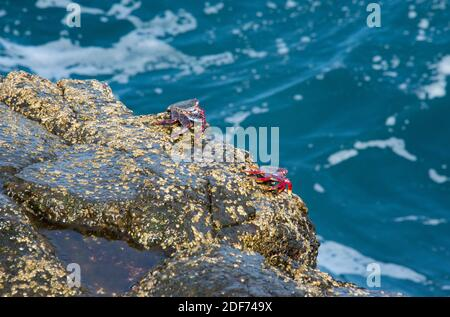 Cangrejo rojo (Grapsus adscensionis) is a crab native to Macaronesia Islands. This photo was taken in La Palma Island, Canary Islands, Spain.