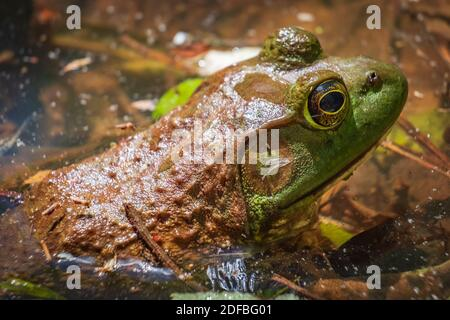 Close up of an American Bullfrog (Lithobates catesbeianus). Raleigh, North Carolina. - Stock Photo
