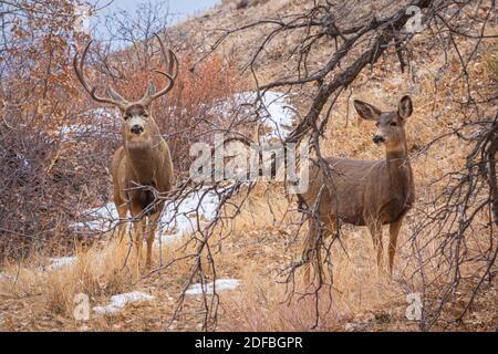 Rocky Mountain Mule deer buck & doe (Odsocoieeus hemionus) in Gamble's Oak and Cottonwood hillside, Castle Rock Colorado USA. Photo taken December 1.