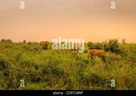 Herd of elephants ( Loxodonta Africana) at sunrise, Queen Elizabeth National Park, Uganda, East Africa.