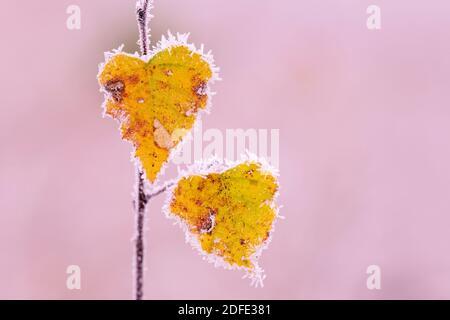 Birkenblätter im Herbst, Winter, Goldenstedter Moor, - Stock Photo