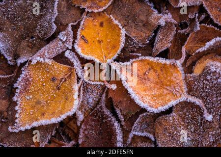 Birkenblätter im Herbst, Winter, Goldenstedter Moor,Eis, Rauhreif, Frost, - Stock Photo