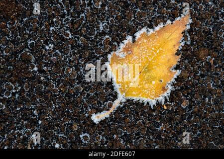 Birkenblätter im Herbst, Winter, Goldenstedter Moor, Rauhreif, Frost, Eis, - Stock Photo