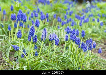 Blue muscari armeniacum, armenian grape hyacinth clumps, spring flowers flowering, UK