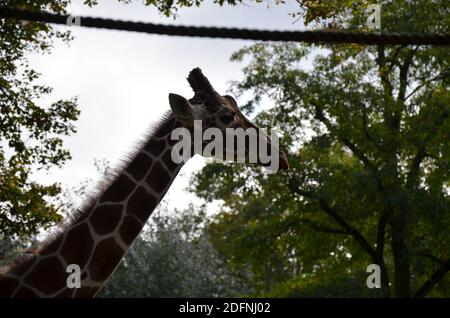 Reticulated Somali giraffes in the zoo