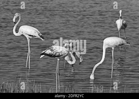 Greater flamingo is the most widespread and largest species of the flamingo family. It is found in Africa, Indian subcontinent, Middle East and  Europ
