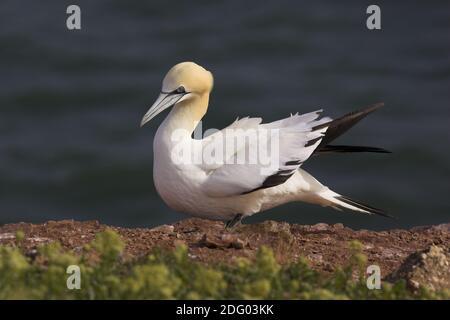 Basstoepel, northern gannet [Morus bassanus, formerly Sula bassana] Stock Photo