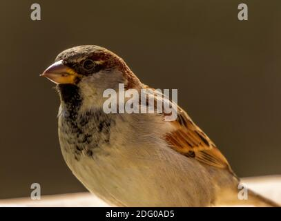Passer domesticus, Close up of a Male Sparrow