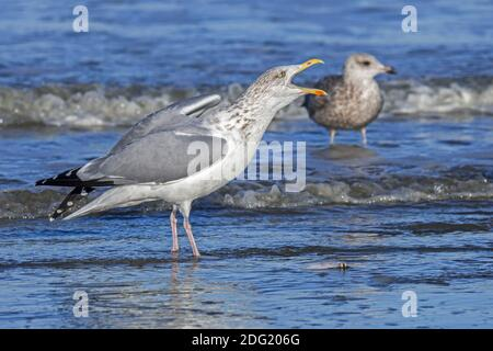European herring gull (Larus argentatus) adult in non-breeding winter plumage defending food / dead fish in shallow water and calling