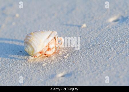 Gemeiner Einsiedlerkrebs, Pagurus bernhardus, common marine hermit crab