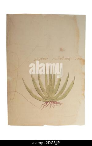 Maguey plant or agave americana. Page 1v of Codex Tudela. 16th-century Aztec codex. Museum of the Americas, Spain