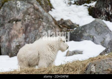 A white mountain goat grazes on the rocky hilltop in northern Quebec in winter. - Stock Photo