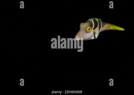 Paraluteres prionurus, Tropical Filefish, Black Background