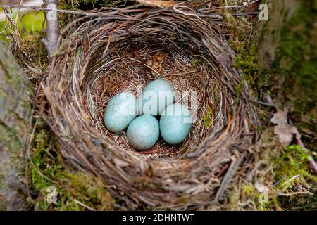 Nest and eggs from the common blackbird (Turdus merula) from Hidra, south-western Norway in May. - Stock Photo