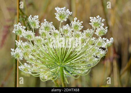 Close up of the flower head of the Ammi majus, Bishop's Flower