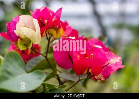 Colorful Bougainvillea branch with flower and leaves in the garden