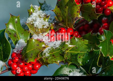 Foliage and holly berries in winter under the snow.