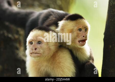 Pair of White-faced Capuchin - Cebus capucinus, beautiful brown white faces primate from Costa Rica forest.