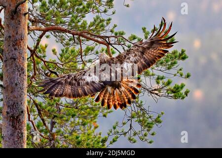 Golden eagle is landing on the pine tree