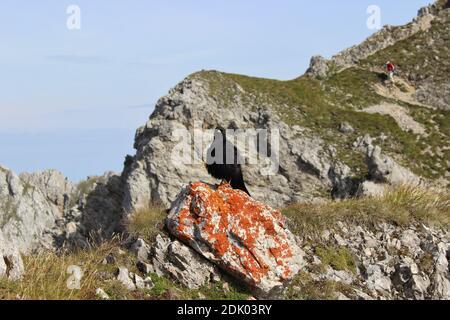 Alpine chough (Pyrrhocorax graculus) on the Mittenwald Höhenweg Stock Photo