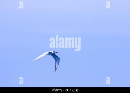 Little tern is flying, Little tern is a small seabird. , Scientific name Sternula albifrons, Little tern is a species of sea birds. - Stock Photo