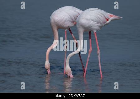 A lovely pair of Greater Flamingos (Phoenicopterus roseus), feeding in the shallow waters at the Ras Al Khor wildlife sanctuary in Dubai, UAE.