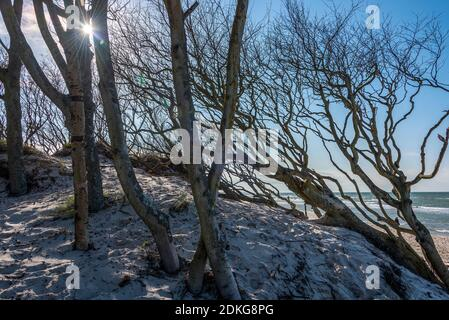 Germany, Mecklenburg-Western Pomerania, Prerow, tree-covered dune, West Beach, Baltic Sea