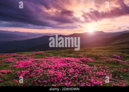 A lawn covered with flowers of pink rhododendron. Scenery of the sunrise at the high mountains. Dramatic sky. Amazing summer day. The revival of the p