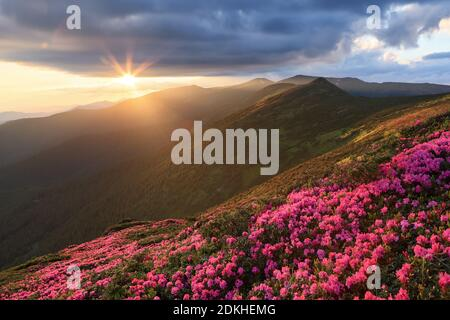 Scenery of the sunset at the high mountains. Amazing spring landscape. A lawn covered with flowers of pink rhododendron. Dramatic sky. The revival of