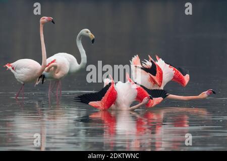 Groep blatsende Flamingo's; Group of displying Greater Flamingo