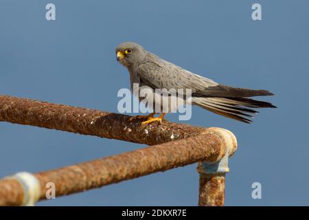 Woestijnvalk zittend op scheepswrak; Sooty Falcon perched on ship wreck