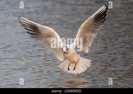 Winter adult black headed gull in angel like pose - Stock Photo