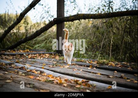 Cute kitten first went for a walk in the forest, playing with leaves on a wooden bridge.