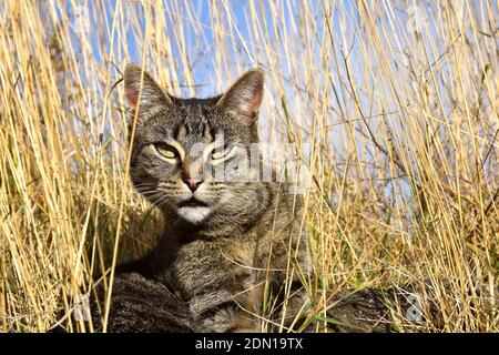Tabby cat among dry grass looking at the camera.